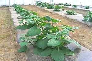 食用ほおずき 冬季栽培にチャレンジ