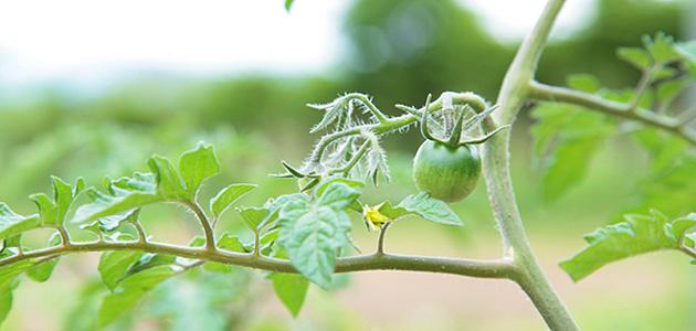 畑の野菜のお楽しみ