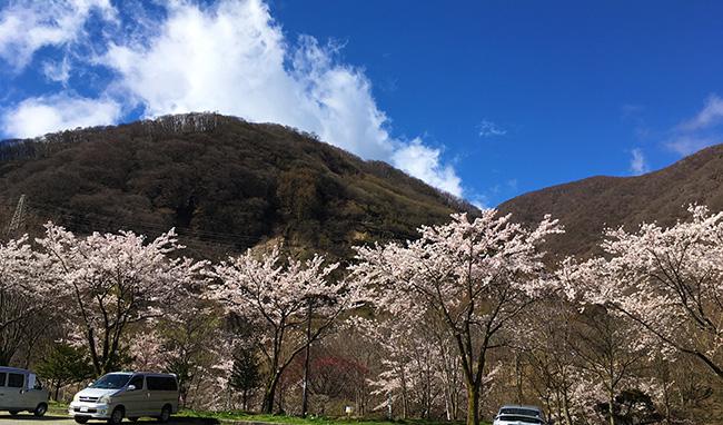 富士見町にも桜前線が到着!(2017年)